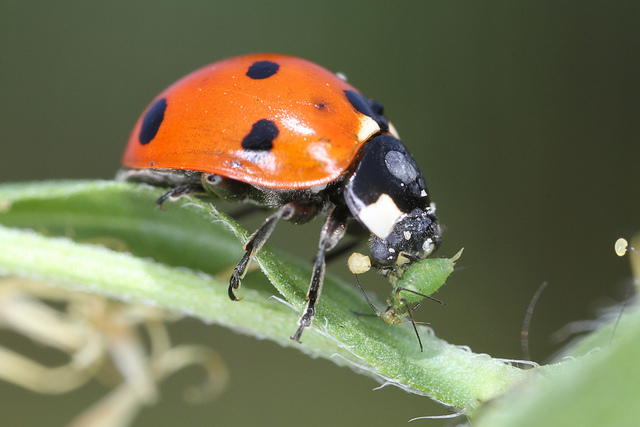 Ladybugs Feast on the Most Common Garden Pests: Aphids - ArborScape Denver Tree Trimming Tree Removal blog