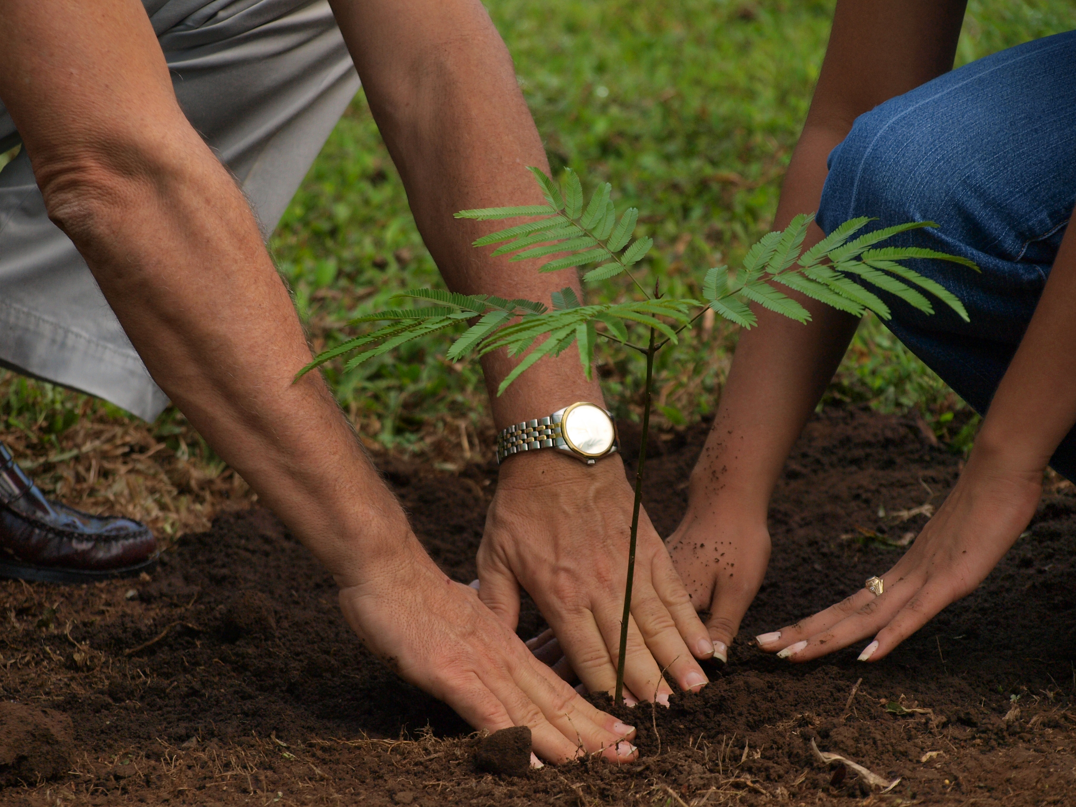 image of couple planting a sapling seedling tree mimosa