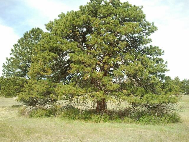 ArborScape Adopts Pine in Red Feather Lakes Colorado - ArborScape Denver Tree Service blog