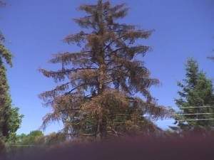 Spruce tree killed by Ips beetle