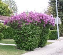 Denver lilacs