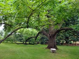 Trees to Avoid - image of a black walnut tree