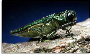 Prepare for Emerald Ash Borer