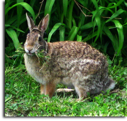 a gray rabbit eating a lawn. Learn how to deter rabbits from eating your lawn with ArborScape's favorite tips and tricks.