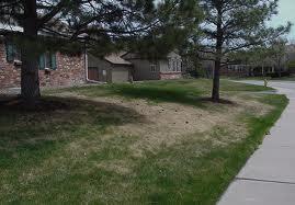 ArborScape Denver Tree Service Troubleshooting Lawn Problems - clover mite damage
