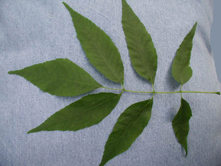 green ash one leaf, 7 leaflets