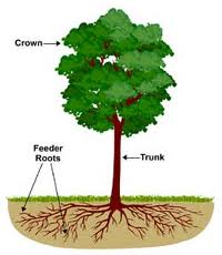 illustration of tree showing feeder roots - Deep Root Fertilization and Drought - ArborScape Denver Tree Service blog