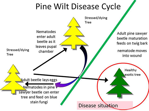pinewilt cycle