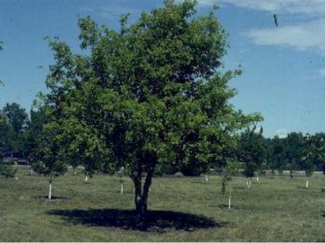 image of Box Elder tree