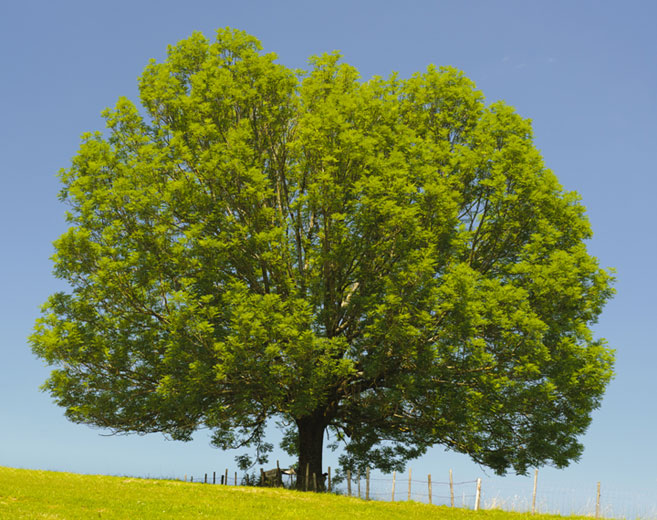 read about ash tree care on ArborScape Denver Tree Service blog