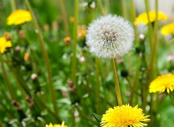 image of dandelions in a lawn