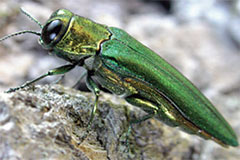 image of Emerald Ash Borer
