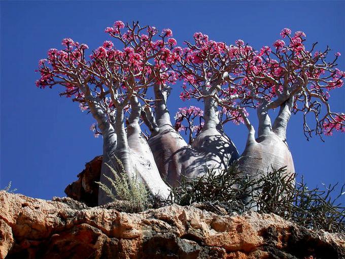 desertrose-1