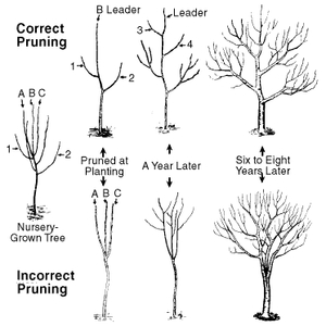 Tree pruning and tree training - ArborScape Denver Tree Service Blog
