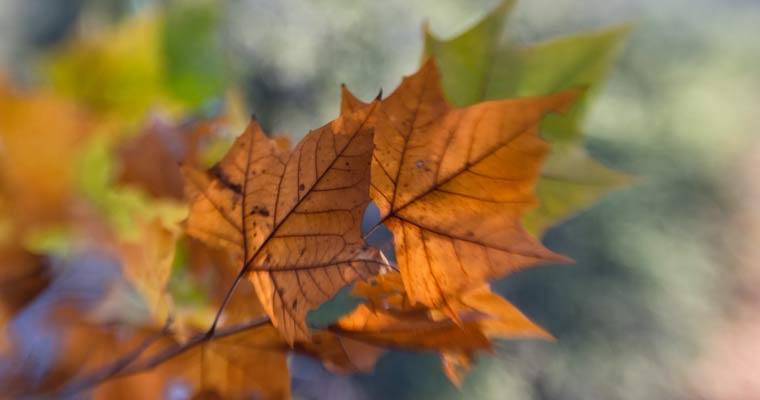 image of maple leaves changing colors in autumn