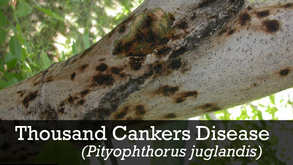 Thousand Canker Disease manifests as dead spots on a walnut tree