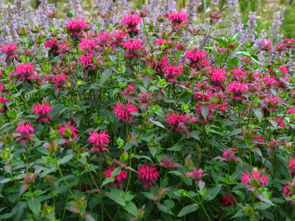 Monarda_didyma_'Violacea'_04- Cold weather-tough perennials - ArborScape Denver Tree Service blog
