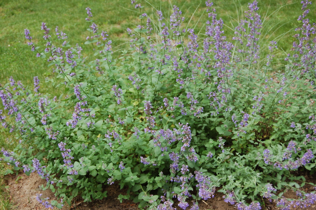 image of Catmint nepeta in bloom- Cold weather-tough perennials - ArborScape Denver Tree Service blog