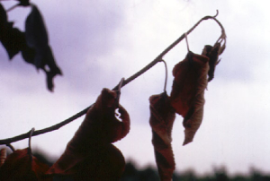 image of shepherd's crook branch deformity caused by fire blight disease - symptoms of fire blight