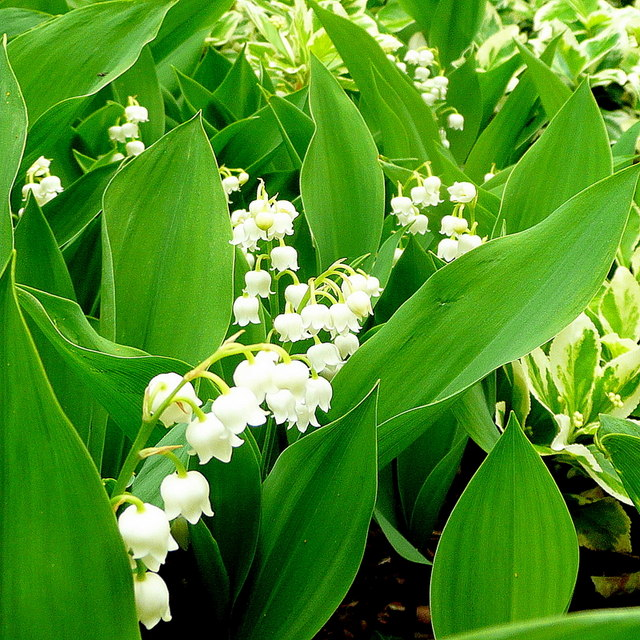 image of blooming lily of the valley- Cold weather-tough perennials - ArborScape Denver Tree Service blog