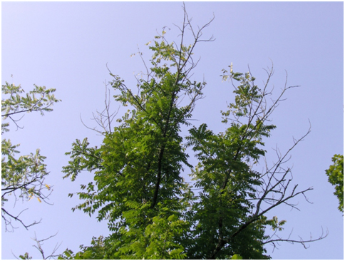 Thousanhd Canker Disease causes dieback in a Black Walnut tree