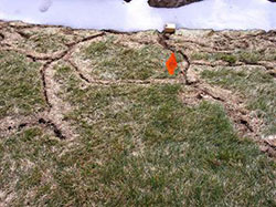 ArborScape Denver Tree Service Troubleshooting Lawn Problems - toadstools in lawn - vole damage