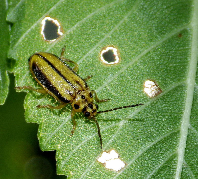Elm Leaf Beetle Treatment - ArborScape Denver Tree Service blog