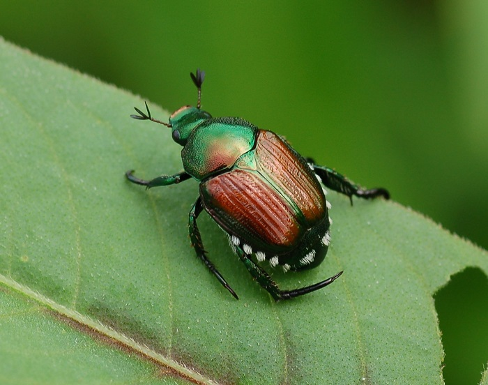 Expect Heavy Japanese Beetle Infestations in 2017 - ArborScape Denver Tree Service blog