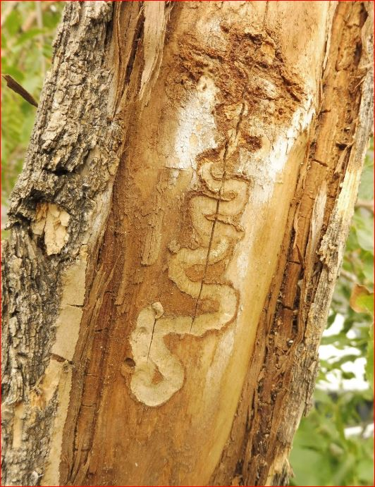 Distinctive galleries from EAB trees.