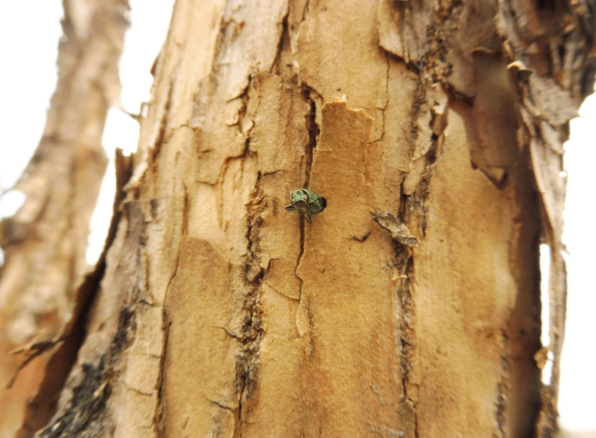 Emerald ash borer in one of discovery trees in Westminster.
